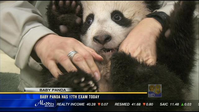 """熊猫宝宝""""小礼物"""" 粉丝争睹其风采"""